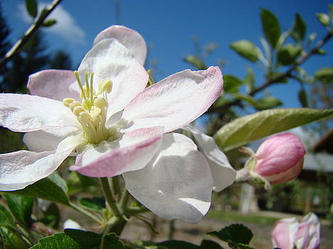 Baslee Troutman - APPLE BLOSSOMS Art Prints Canvas Blue Sky Pink White Blossoms
