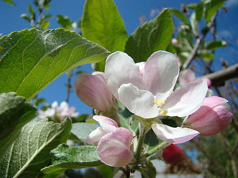 Baslee Troutman - APPLE BLOSSOMS Art Prints Spring Apple Tree Baslee Troutman