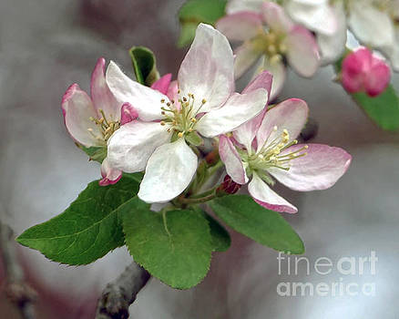 Apple Blossoms by Catherine Sherman