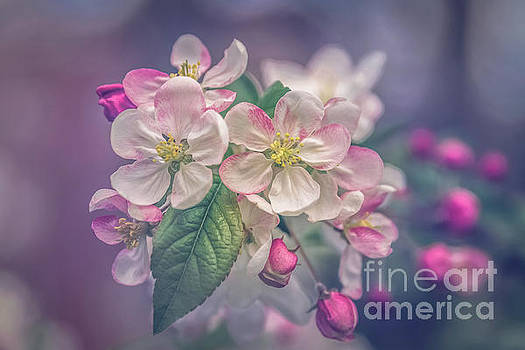 Apple blossoms by Claudia M Photography