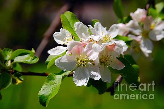 Apple Blossoms by Elaine Manley
