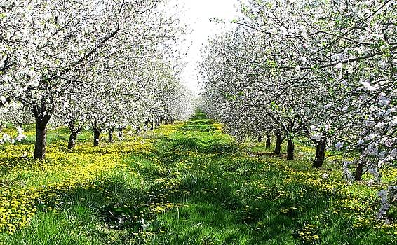 Apple Blossoms In Adams County by Angela Davies