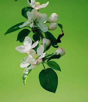 Apple Blossoms in Bloom by Linda Drown