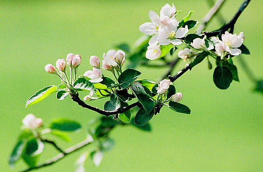 Apple Blossoms by Linda Drown