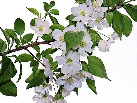 Apple Blossoms by Nina Bradica