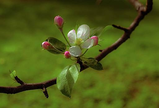 Apple Buds and Blossom by Sherman Perry