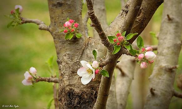 Apple Buds 'N Blooms by Matt Taylor