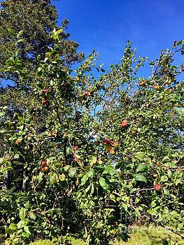 Apple Harvest by Barbara Griffin