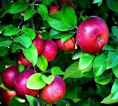 Apple Harvest Time by Angela Davies