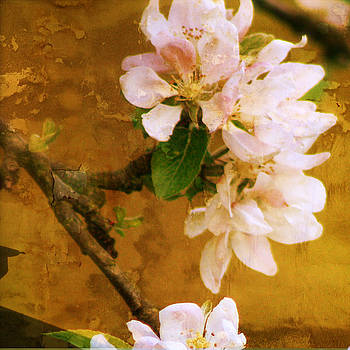 Apple tree blossom by Sonia Stewart