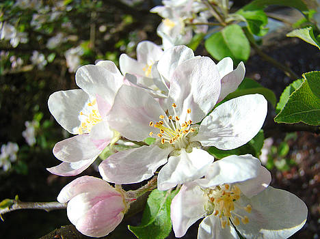 Baslee Troutman - Apple Tree Blossoms White Pink Floral Baslee Troutman