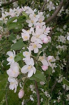 Apple Tree in Bloom by Tammy Finnegan