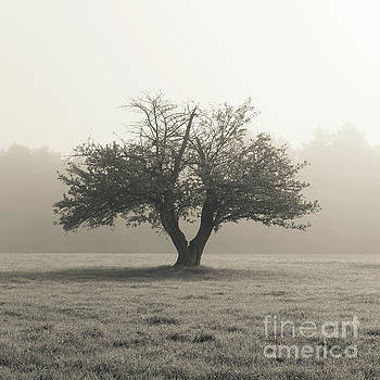 Apple Tree in the Mist by Edward Fielding
