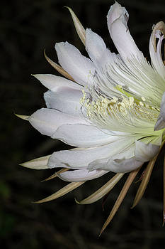 Paul Rebmann - Applecactus Flower Closeup