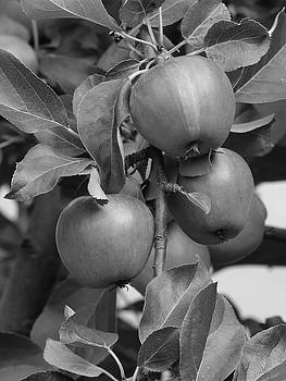 Apples in Monochrome by Kimberly VanNostrand