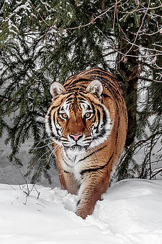 Approaching Tiger by Wes and Dotty Weber