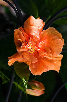 Apricot Hibiscus by Jamie Banta