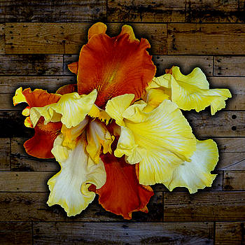 Tara Hutton - Apricot Iris on Wood