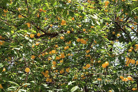 Bob Phillips - Apricots
