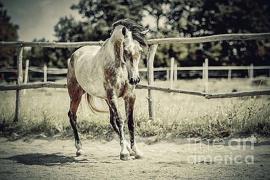 Dimitar Hristov - Arab Horse in paddock