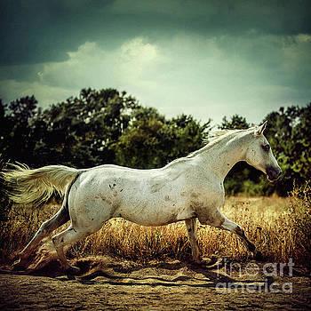 Dimitar Hristov - Arabian horse running in the field
