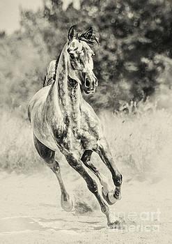Arabian horse running on sunny meadow by Dimitar Hristov