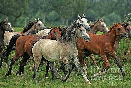 Angel Ciesniarska - Arabian horses from Babolna stud