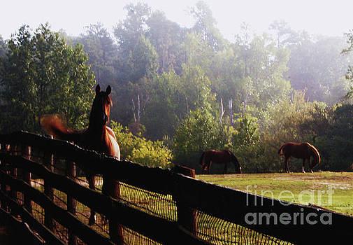 Arabian Horses in field by Debra Crank