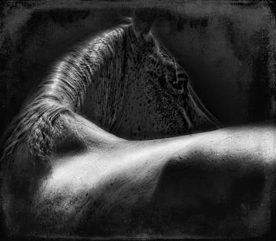 Arabian Stallion by Sue Fulton
