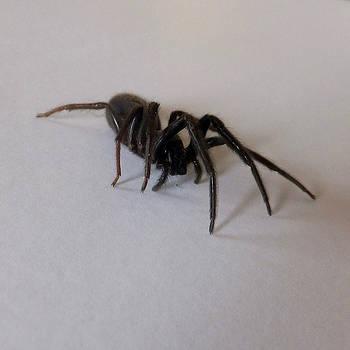 Arachne noire by Marc Philippe Joly
