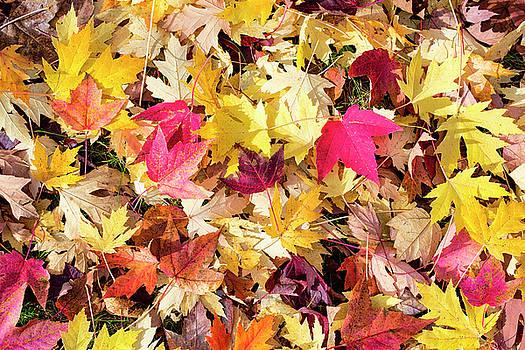 Steven Ralser - Arboretum Maple Leaves