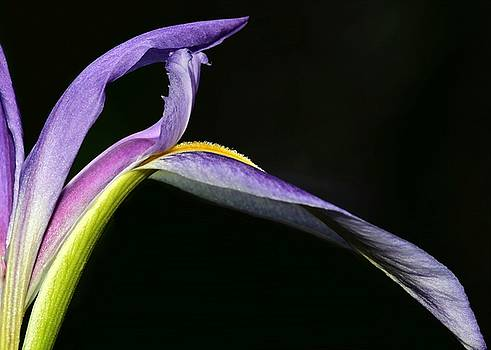 Sabrina L Ryan - Arch of an Iris