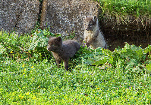 Arctic Fox Cubs Playing in Iceland by Venetia Featherstone-Witty