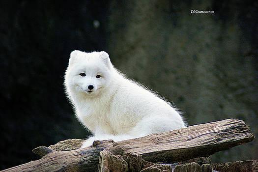 Arctic Fox  by Edward Coumou
