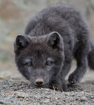 Arctic Fox Pup - 8243,S by Wally Hampton
