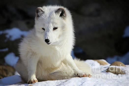 Arctic Fox by Steve Boice
