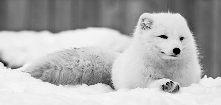 Arctic Fox by Tracy Winter