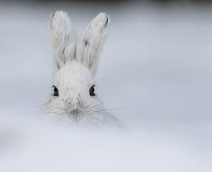 Dee Carpenter - Arctic Hare