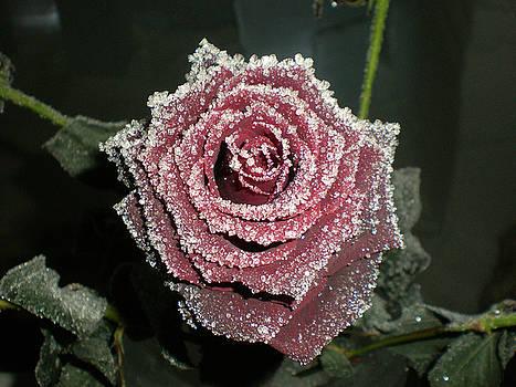 Arctic Rose by Jennifer Conroy