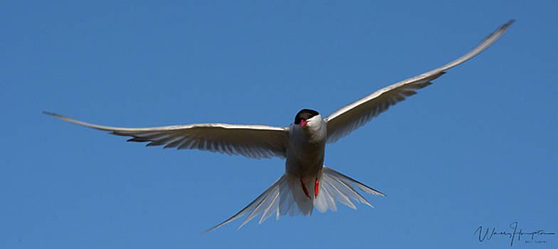Arctic Tern - 0278,S by Wally Hampton