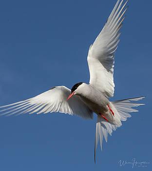 Arctic Tern - 0282,S by Wally Hampton