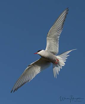 Arctic Tern - 0363,S by Wally Hampton