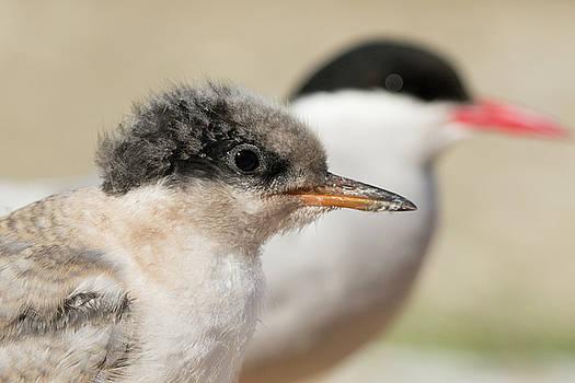 Arctic Tern Chick with Parent - Scotland by Karen Van Der Zijden