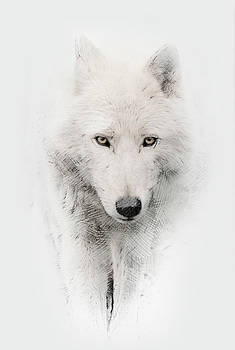 Arctic Wolf by John Fotheringham
