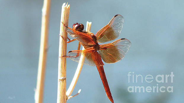 Arizona Dragonfly by Chandra Nyleen