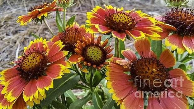 Arizona Sun Blanket Flowers by Crissy Anderson