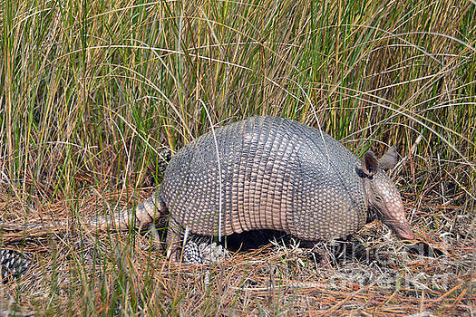 Armadillo at Bear Island in South Carolina by Catherine Sherman