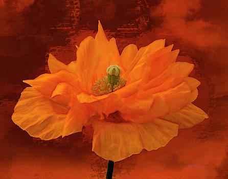 Armenian Poppy by Joe Halinar