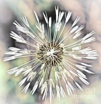 Art in Nature - Dandelion Explosion by Kerri Farley