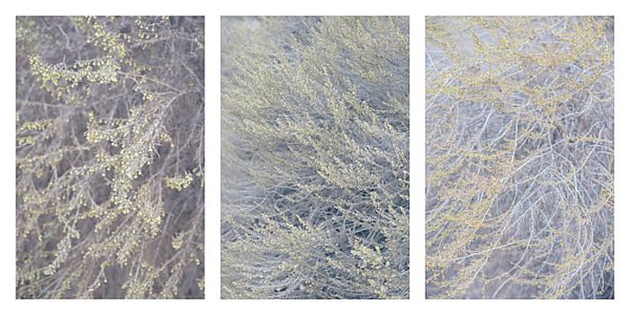 Artemisia californica Triptych by Alexander Kunz